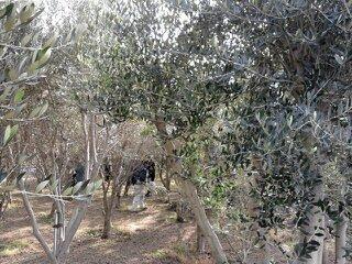 olive 006.jpg